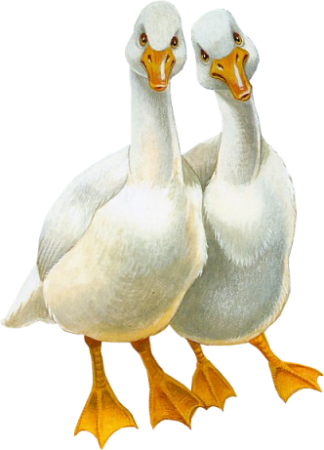 Birds53(geese)_dhedey.png