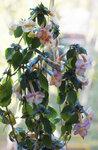 Ахименес -Yellow English Rose