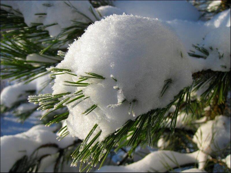 Хвоя в снегу