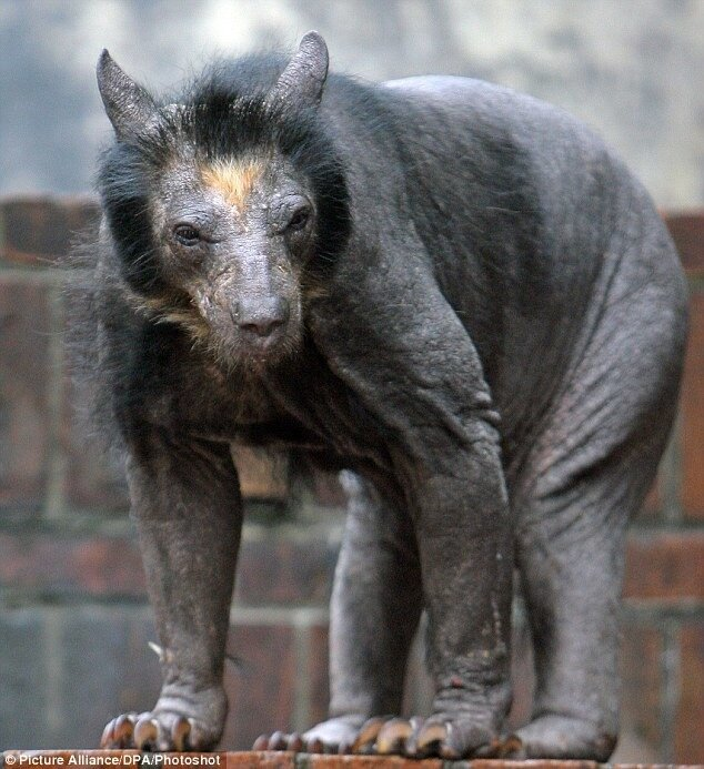 Лысый медведь.