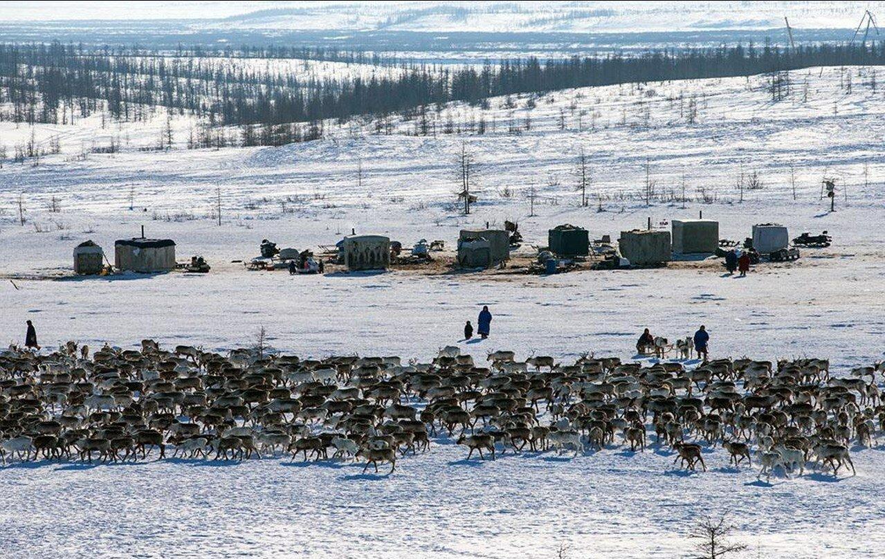 05. Ненецкие пастухи и их олени