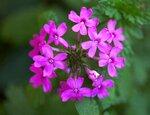 Цветы ВЕРБЕНА