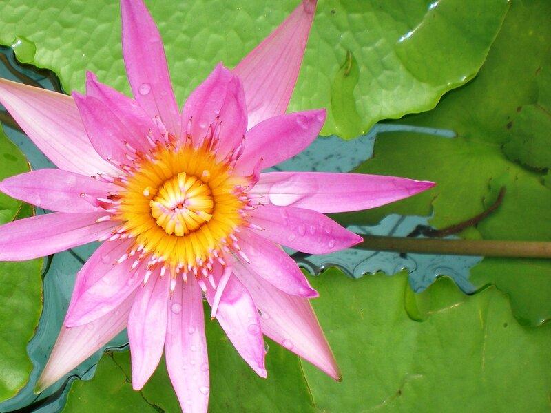 Тропическая лилия