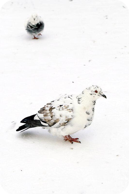 В Аптекарском к праздникам даже голубей покрасили!
