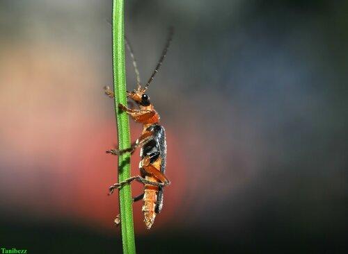 Мягкотелка деревенская (красноногая) / Cantharis rustica
