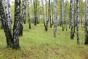 Рябчи. Осенний лес.