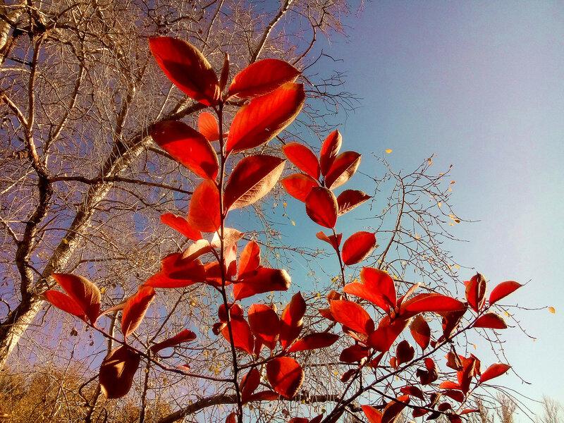 Красные листья-29-10-2015.jpg