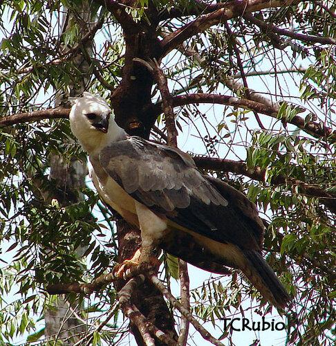 Гарпия - знаменитая птица! 0_1ff8d_308e5411_L