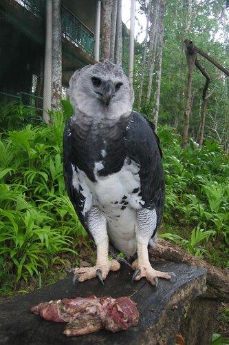 Гарпия - знаменитая птица! 0_1ff9c_189e161f_L