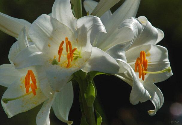 lys-blanc_2735.jpg