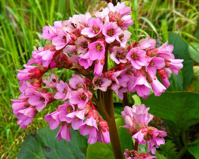 Цветёт бадан