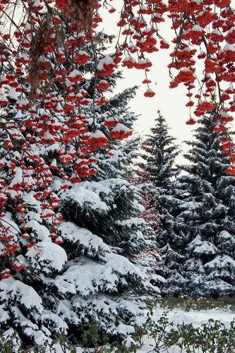 Кабы небыло ЗИМЫ. рябина. снег. природа. деревья. пейзаж.