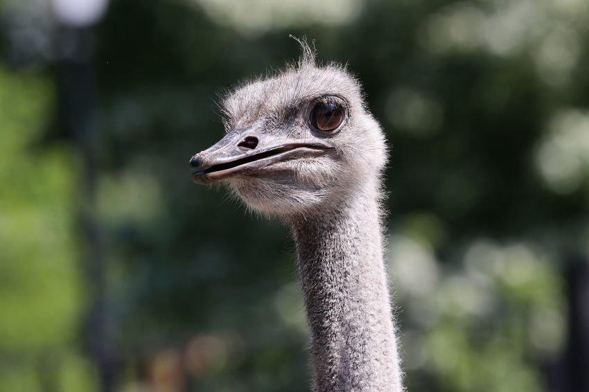 Удивительная реакция страусов напохолодание, удивила служащих зоопарка «Садгород»