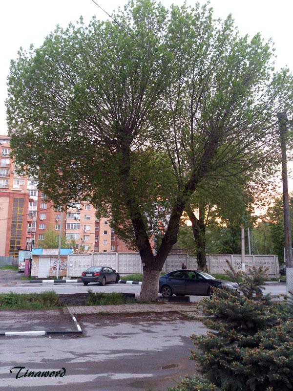 дерево-весной.jpg