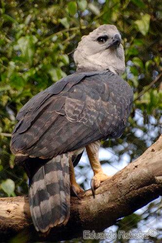 Гарпия - знаменитая птица! 0_1ff95_1cab937c_L