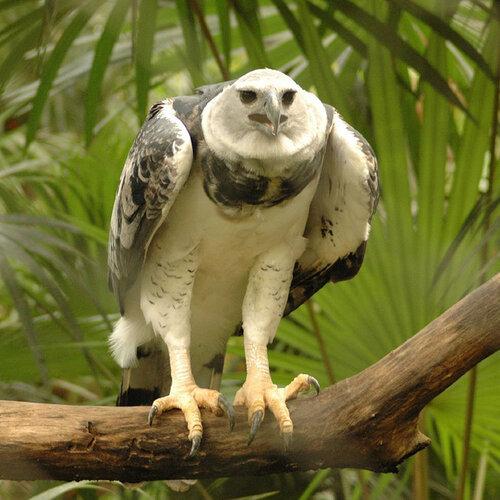 Гарпия - знаменитая птица! 0_1ffa1_d1f1b777_L