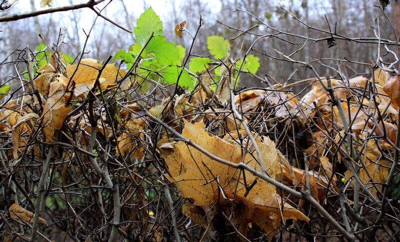 Молодая и желтая листва