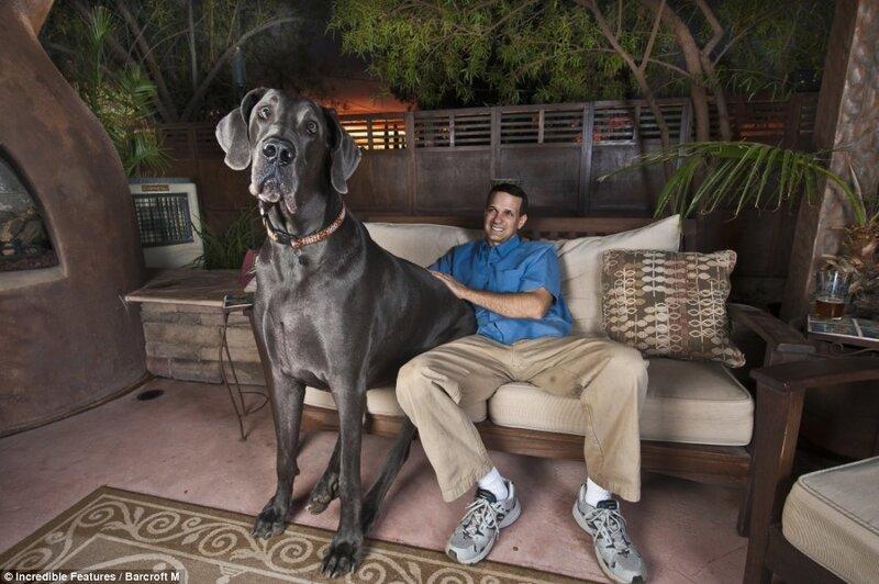 гигант Джордж - самая большая собака в мире