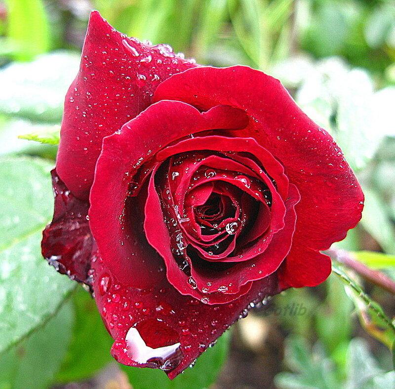 определить сорт розы по картинке часто интересуются