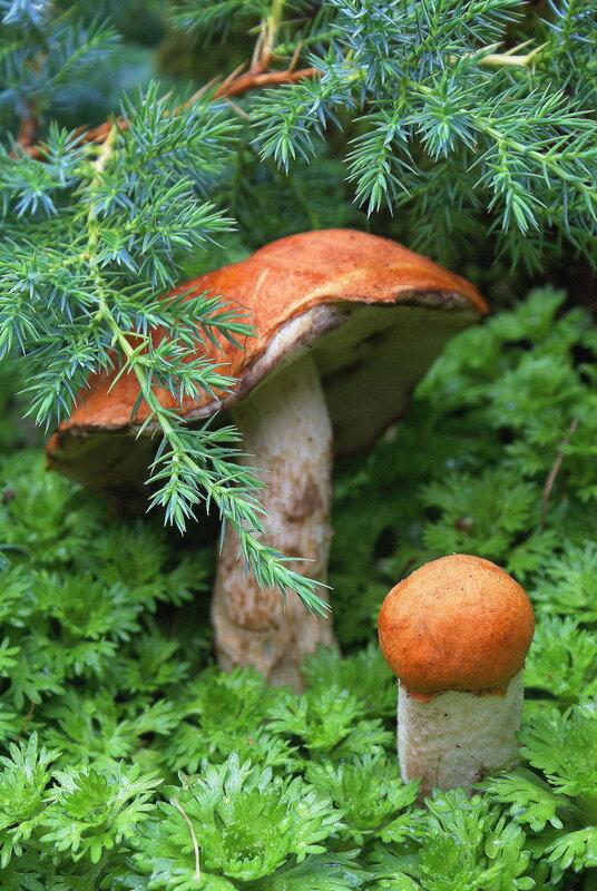 В этом регионе растёт большое количество шляпочных грибов, хотя и число.