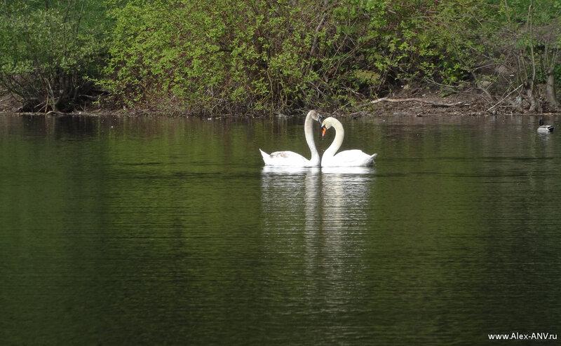 Картинка Лебеди На Озере