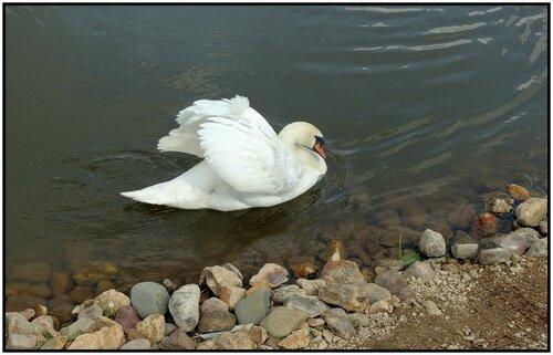 А белый лебедь на пруду ....