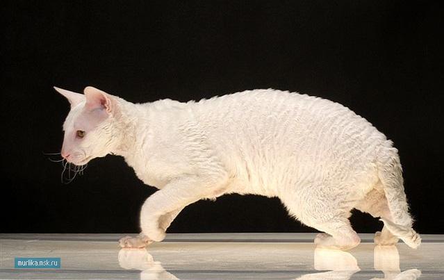 Корниш-рекс, корниш-рекс порода кошки