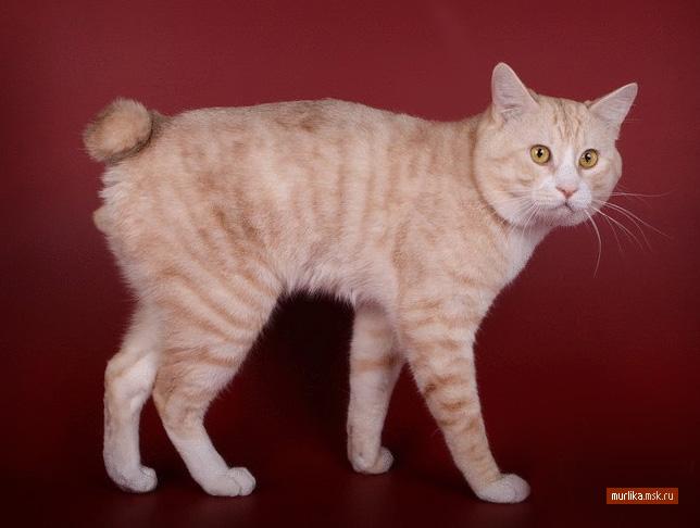 Курильский бобтейл, курильский бобтейл порода кошки