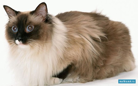 Рэгдолл, рэгдолл порода кошки