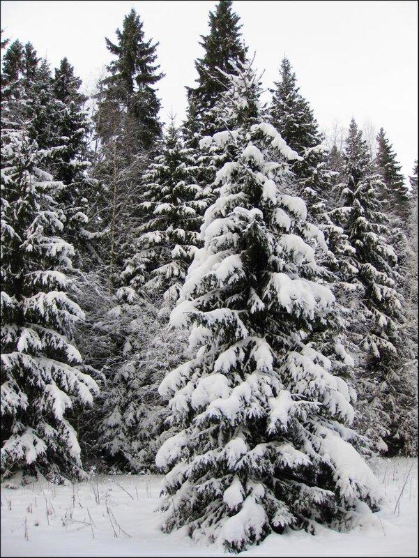 В лесу родились елочки...