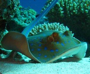 Сине-пятнистый скат-хвостокол (Taeniura lymma).