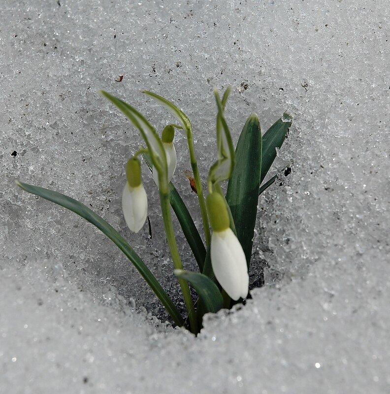 gskatr Подснежники весна первоцветы подснежники.