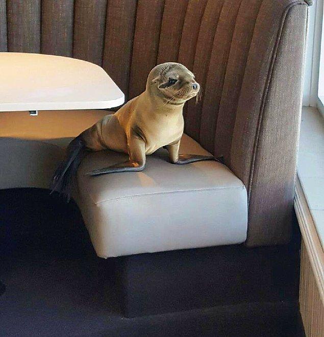 Как тюлень пришел искать еды в ресторане и уснул там (8 фото)