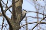 Самка малого пёстрого дятла (лат. Dendrocopos minor либо Picoides minor) собирает насекомых на стволе дерева