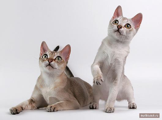 Сингапурская кошка (Сингапура), сингапурская порода кошки