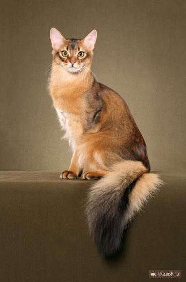 Сомалийская кошка, сомалийская порода кошки