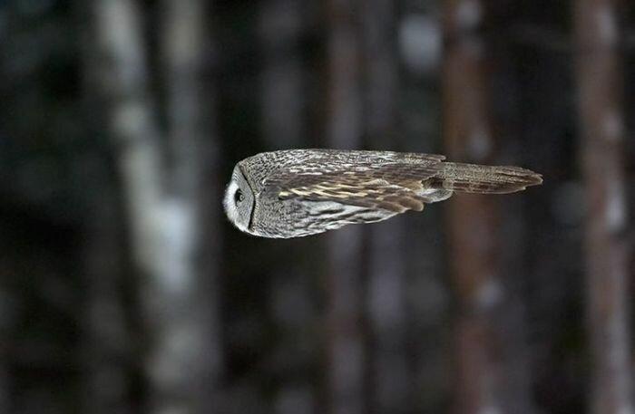 Летящая сова появляется - 8778