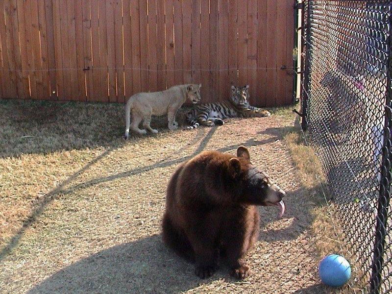 Медведь Балу, лев Лео и тигр Шерхан