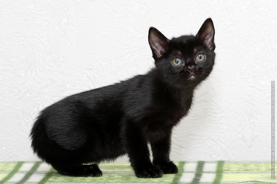 питомник бомбейский котенок
