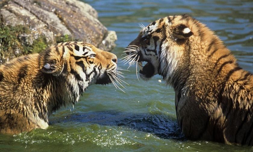 Стая амурских тигров расслабляется после сытного обеда 0 141aeb 23c70a7f orig