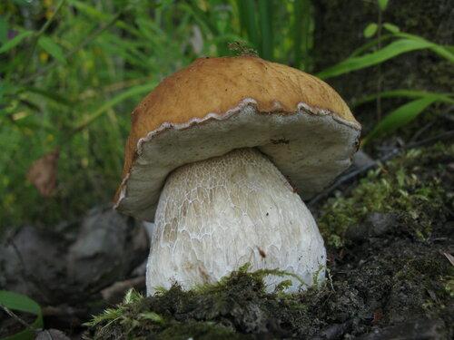 Белых в моем лесу в начале августа практически не было. А может и пропустил какой-нибудь слойчик. Впрочем, грибы все равно были в основном червивые, поэтому специально и не проверял Автор фото: Станислав Кривошеев