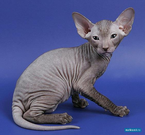 Петерболд, петерболд порода кошки