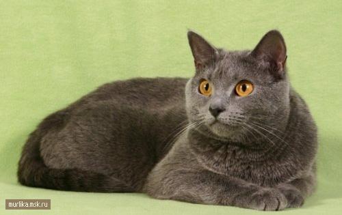 Шартрез, шартрез порода кошки