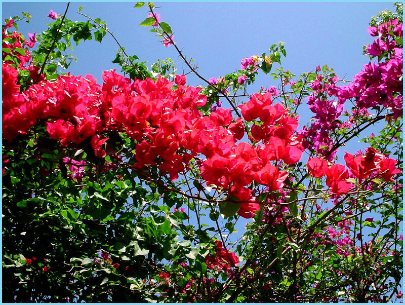 Цветы и небо (бугенвиллея)