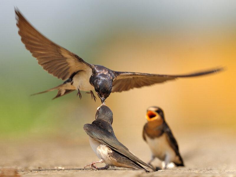 Кормление птенцов (5 фото Дэвида Свифта) и самые интересные факты о птицах