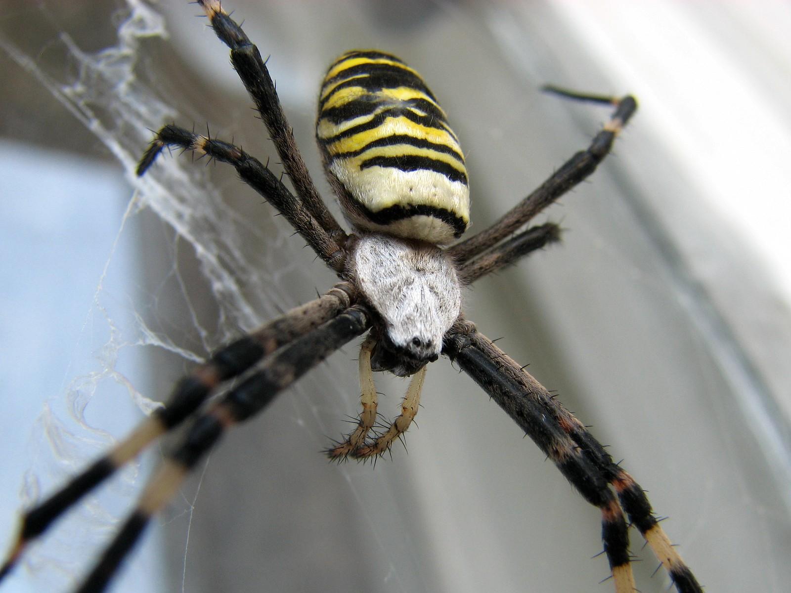 паук с брюшком как у осы фото вообще