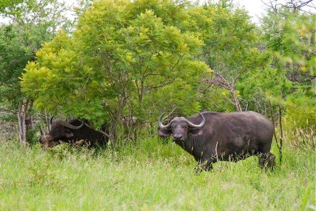 буйволы
