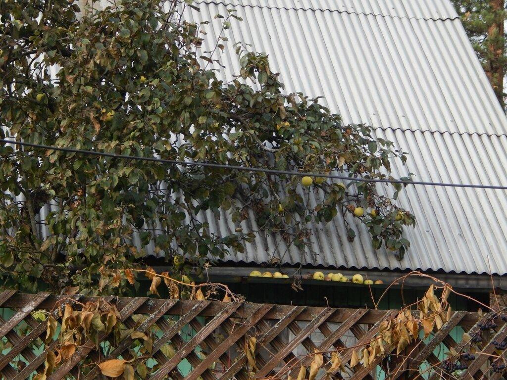 Октябрь. Стучат яблоки по крыше...