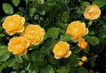 """Скоро осень, за окнами август..."" 2015, розы"