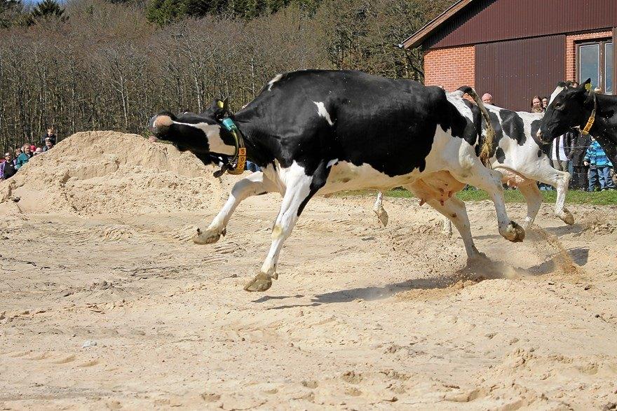 выбор картинка танцующих коров технологии печати